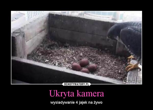 Ukryta kamera – wysiadywanie 4 jajek na żywo
