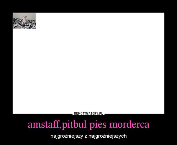 amstaff,pitbul pies morderca – najgroźniejszy z najgrożniejszych