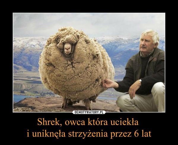 Shrek, owca która uciekła i uniknęła strzyżenia przez 6 lat –