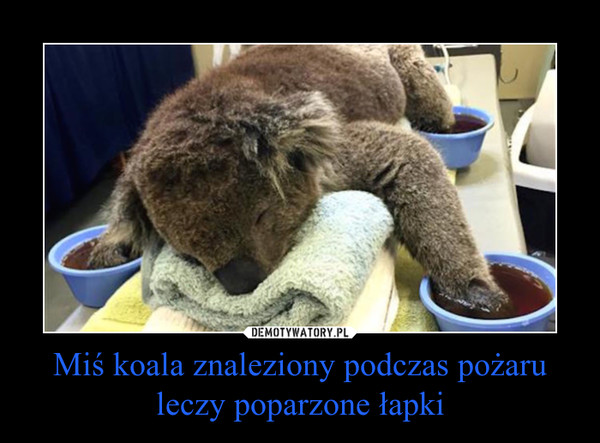 Miś koala znaleziony podczas pożaru leczy poparzone łapki –