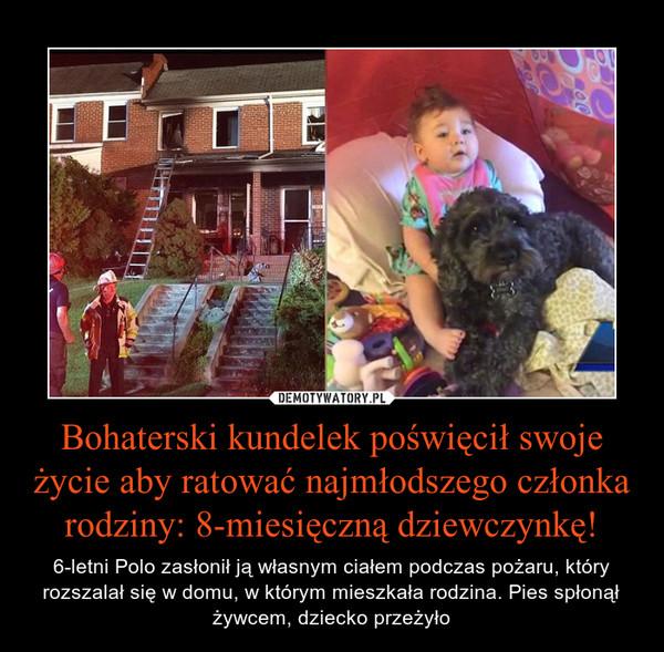 Bohaterski kundelek poświęcił swoje życie aby ratować najmłodszego członka rodziny: 8-miesięczną dziewczynkę! – 6-letni Polo zasłonił ją własnym ciałem podczas pożaru, który rozszalał się w domu, w którym mieszkała rodzina. Pies spłonął żywcem, dziecko przeżyło
