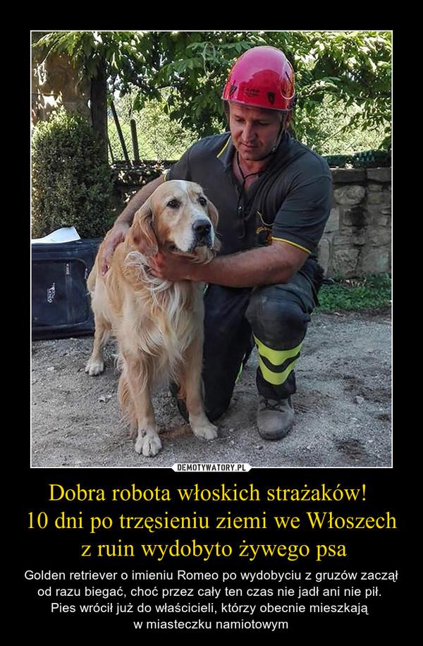Dobra robota włoskich strażaków! 10 dni po trzęsieniu ziemi we Włoszech z ruin wydobyto żywego psa – Golden retriever o imieniu Romeo po wydobyciu z gruzów zaczął od razu biegać, choć przez cały ten czas nie jadł ani nie pił. Pies wrócił już do właścicieli, którzy obecnie mieszkają w miasteczku namiotowym