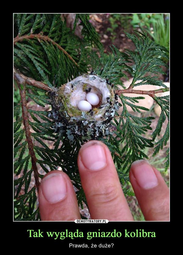 Tak wygląda gniazdo kolibra – Prawda, że duże?