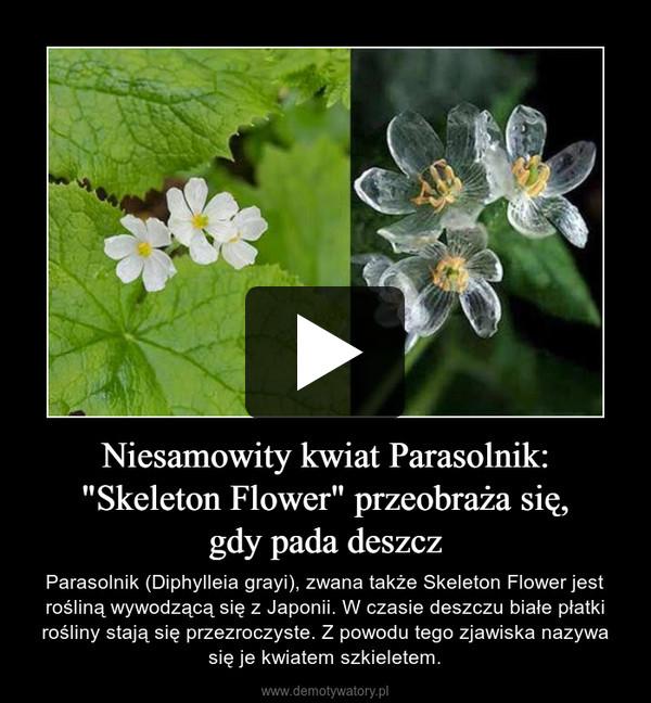 """Niesamowity kwiat Parasolnik: """"Skeleton Flower"""" przeobraża się,gdy pada deszcz – Parasolnik (Diphylleia grayi), zwana także Skeleton Flower jest rośliną wywodzącą się z Japonii. W czasie deszczu białe płatki rośliny stają się przezroczyste. Z powodu tego zjawiska nazywa się je kwiatem szkieletem."""