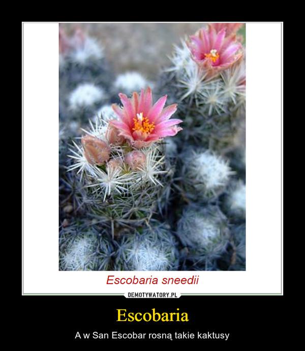 Escobaria – A w San Escobar rosną takie kaktusy