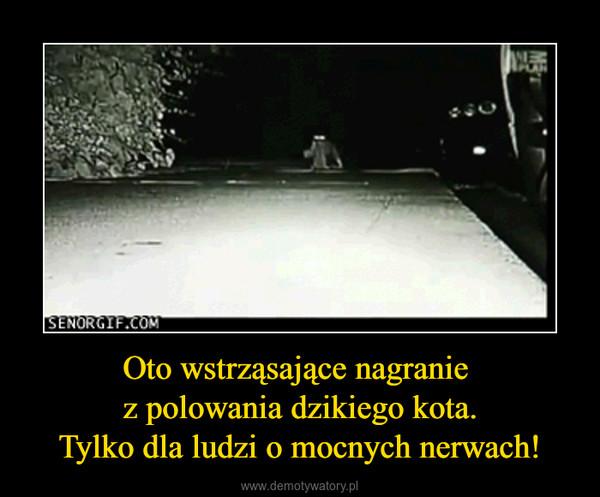 Oto wstrząsające nagranie z polowania dzikiego kota.Tylko dla ludzi o mocnych nerwach! –