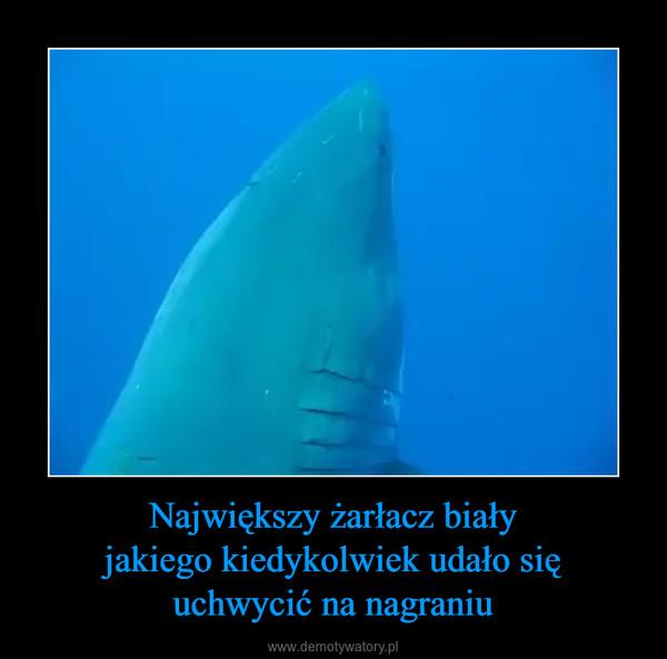Największy żarłacz białyjakiego kiedykolwiek udało sięuchwycić na nagraniu –