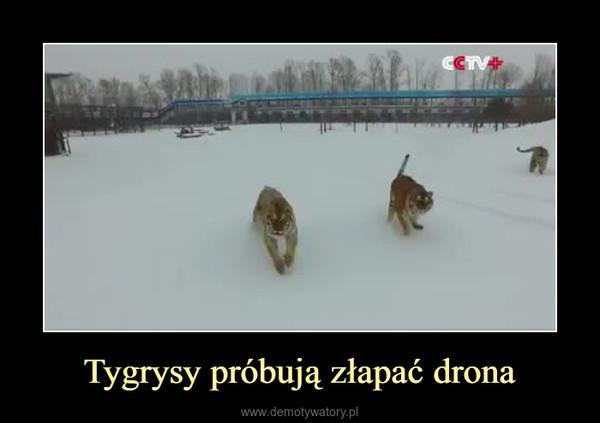 Tygrysy próbują złapać drona –