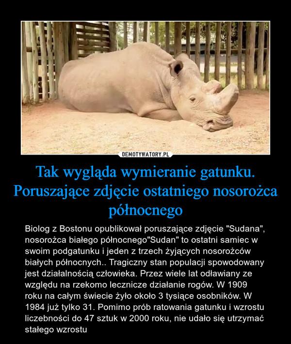"""Tak wygląda wymieranie gatunku. Poruszające zdjęcie ostatniego nosorożca północnego – Biolog z Bostonu opublikował poruszające zdjęcie """"Sudana"""", nosorożca białego północnego""""Sudan"""" to ostatni samiec w swoim podgatunku i jeden z trzech żyjących nosorożców białych północnych.. Tragiczny stan populacji spowodowany jest działalnością człowieka. Przez wiele lat odławiany ze względu na rzekomo lecznicze działanie rogów. W 1909 roku na całym świecie żyło około 3 tysiące osobników. W 1984 już tylko 31. Pomimo prób ratowania gatunku i wzrostu liczebności do 47 sztuk w 2000 roku, nie udało się utrzymać stałego wzrostu"""