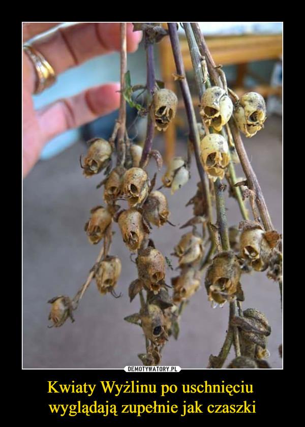 Kwiaty Wyżlinu po uschnięciu wyglądają zupełnie jak czaszki –