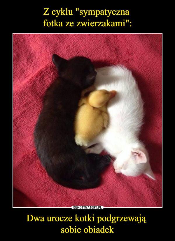 Dwa urocze kotki podgrzewają sobie obiadek –