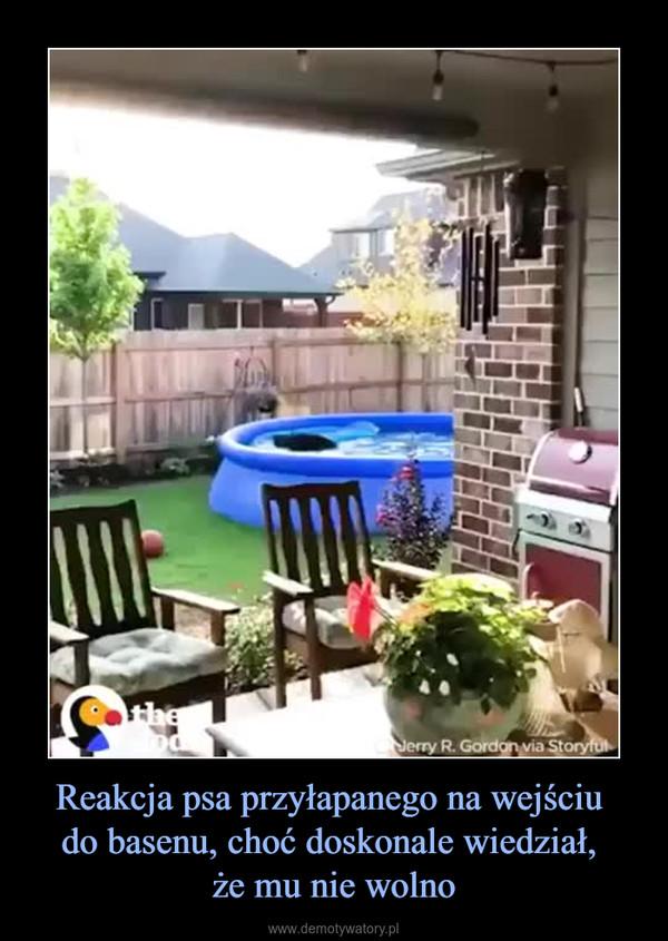 Reakcja psa przyłapanego na wejściu do basenu, choć doskonale wiedział, że mu nie wolno –