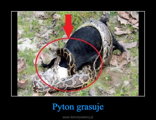 Pyton grasuje –