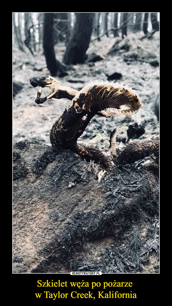 Szkielet węża po pożarze w Taylor Creek, Kalifornia –