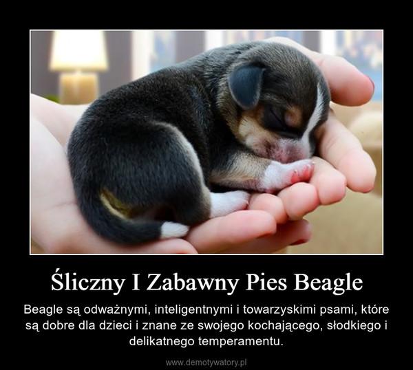 Śliczny I Zabawny Pies Beagle – Beagle są odważnymi, inteligentnymi i towarzyskimi psami, które są dobre dla dzieci i znane ze swojego kochającego, słodkiego i delikatnego temperamentu.