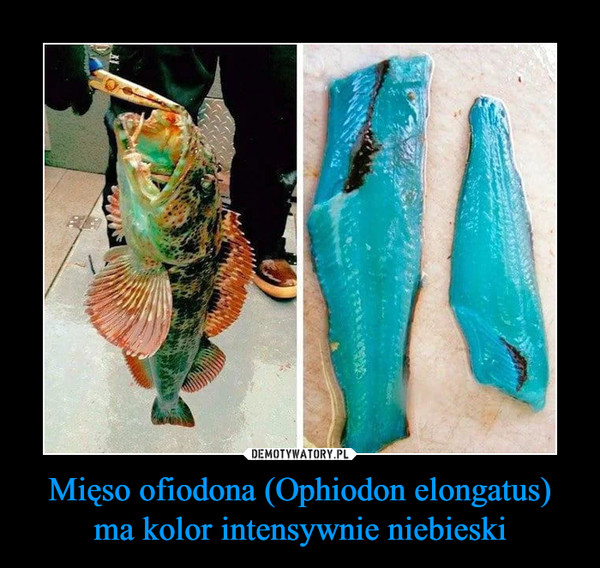 Mięso ofiodona (Ophiodon elongatus) ma kolor intensywnie niebieski –
