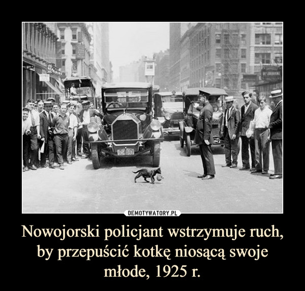 Nowojorski policjant wstrzymuje ruch, by przepuścić kotkę niosącą swoje młode, 1925 r. –