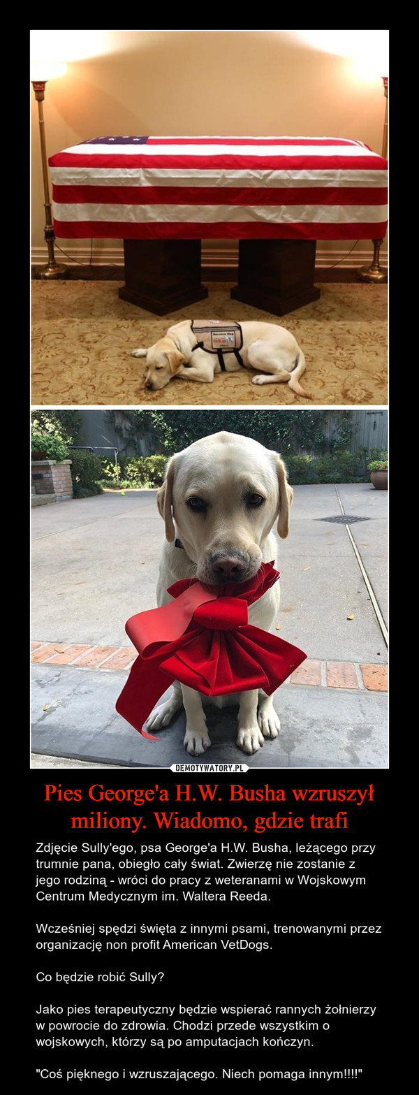 """Pies George'a H.W. Busha wzruszył miliony. Wiadomo, gdzie trafi – Zdjęcie Sully'ego, psa George'a H.W. Busha, leżącego przy trumnie pana, obiegło cały świat. Zwierzę nie zostanie z jego rodziną - wróci do pracy z weteranami w Wojskowym Centrum Medycznym im. Waltera Reeda.Wcześniej spędzi święta z innymi psami, trenowanymi przez organizację non profit American VetDogs.Co będzie robić Sully?Jako pies terapeutyczny będzie wspierać rannych żołnierzy w powrocie do zdrowia. Chodzi przede wszystkim o wojskowych, którzy są po amputacjach kończyn.""""Coś pięknego i wzruszającego. Niech pomaga innym!!!!"""""""
