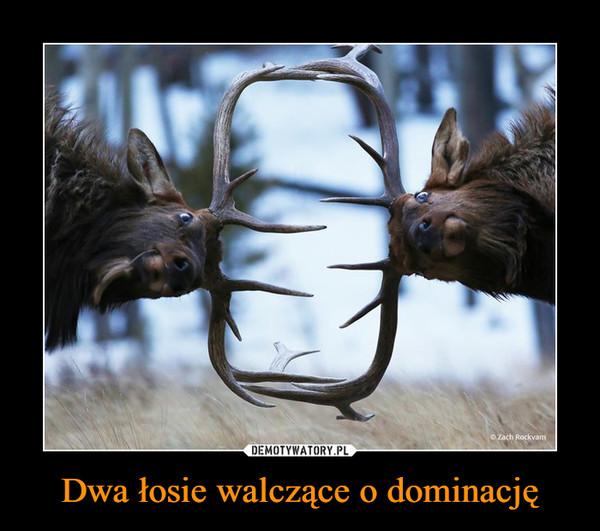 Dwa łosie walczące o dominację –