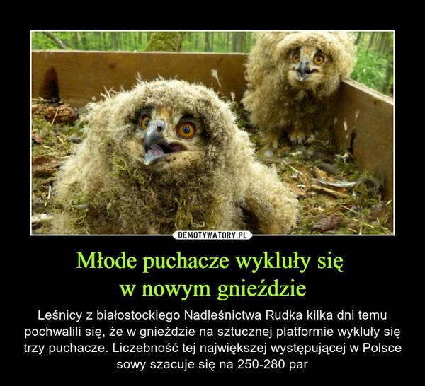 Młode puchacze wykluły się w nowym gnieździe – Leśnicy z białostockiego Nadleśnictwa Rudka kilka dni temu pochwalili się, że w gnieździe na sztucznej platformie wykluły się trzy puchacze. Liczebność tej największej występującej w Polsce sowy szacuje się na 250-280 par