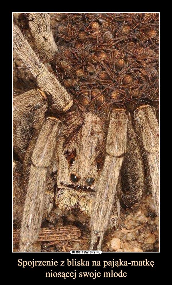 Spojrzenie z bliska na pająka-matkę niosącej swoje młode –