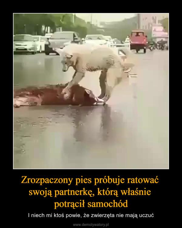 Zrozpaczony pies próbuje ratować swoją partnerkę, którą właśnie potrącił samochód – I niech mi ktoś powie, że zwierzęta nie mają uczuć