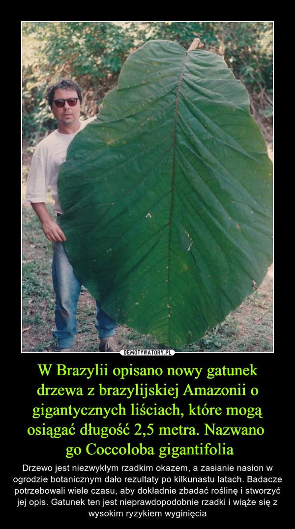 W Brazylii opisano nowy gatunek drzewa z brazylijskiej Amazonii o gigantycznych liściach, które mogą osiągać długość 2,5 metra. Nazwano  go Coccoloba gigantifolia – Drzewo jest niezwykłym rzadkim okazem, a zasianie nasion w ogrodzie botanicznym dało rezultaty po kilkunastu latach. Badacze potrzebowali wiele czasu, aby dokładnie zbadać roślinę i stworzyć jej opis. Gatunek ten jest nieprawdopodobnie rzadki i wiąże się z wysokim ryzykiem wyginięcia