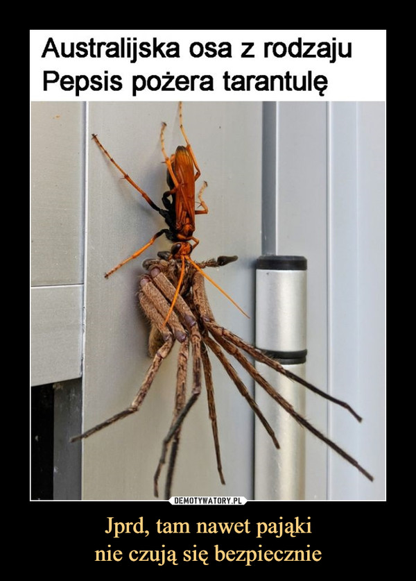 Jprd, tam nawet pająkinie czują się bezpiecznie –  Australijska osa z rodzaju pepsis pożera tarantulę