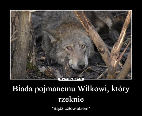 Biada pojmanemu Wilkowi, który rzeknie
