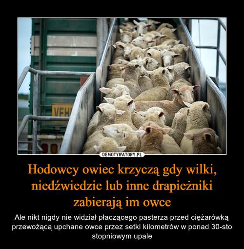 Hodowcy owiec krzyczą gdy wilki, niedźwiedzie lub inne drapieżniki zabierają im owce