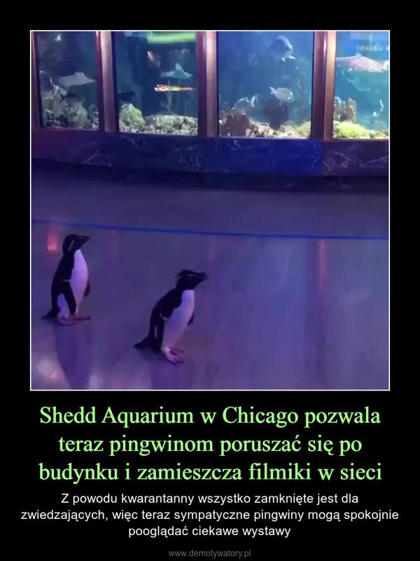 Shedd Aquarium w Chicago pozwala teraz pingwinom poruszać się po budynku i zamieszcza filmiki w sieci – Z powodu kwarantanny wszystko zamknięte jest dla zwiedzających, więc teraz sympatyczne pingwiny mogą spokojnie pooglądać ciekawe wystawy