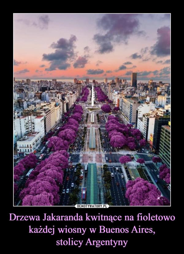 Drzewa Jakaranda kwitnące na fioletowo każdej wiosny w Buenos Aires,stolicy Argentyny –
