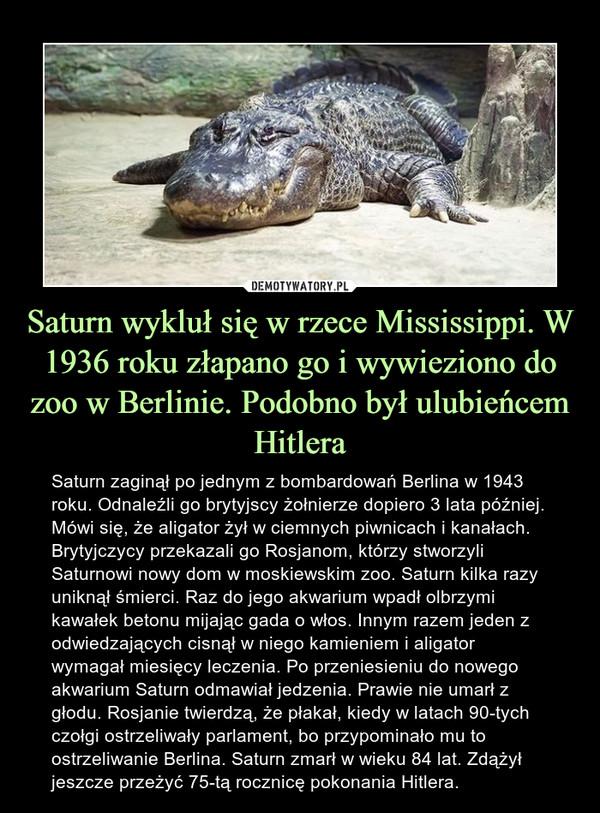 Saturn wykluł się w rzece Mississippi. W 1936 roku złapano go i wywieziono do zoo w Berlinie. Podobno był ulubieńcem Hitlera – Saturn zaginął po jednym z bombardowań Berlina w 1943 roku. Odnaleźli go brytyjscy żołnierze dopiero 3 lata później. Mówi się, że aligator żył w ciemnych piwnicach i kanałach. Brytyjczycy przekazali go Rosjanom, którzy stworzyli Saturnowi nowy dom w moskiewskim zoo. Saturn kilka razy uniknął śmierci. Raz do jego akwarium wpadł olbrzymi kawałek betonu mijając gada o włos. Innym razem jeden z odwiedzających cisnął w niego kamieniem i aligator wymagał miesięcy leczenia. Po przeniesieniu do nowego akwarium Saturn odmawiał jedzenia. Prawie nie umarł z głodu. Rosjanie twierdzą, że płakał, kiedy w latach 90-tych czołgi ostrzeliwały parlament, bo przypominało mu to ostrzeliwanie Berlina. Saturn zmarł w wieku 84 lat. Zdążył jeszcze przeżyć 75-tą rocznicę pokonania Hitlera.
