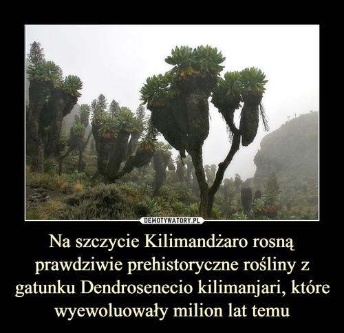 Na szczycie Kilimandżaro rosną prawdziwie prehistoryczne rośliny z gatunku Dendrosenecio kilimanjari, które wyewoluowały milion lat temu