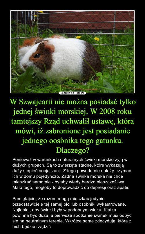 W Szwajcarii nie można posiadać tylko jednej świnki morskiej. W 2008 roku tamtejszy Rząd uchwalił ustawę, która mówi, iż zabronione jest posiadanie jednego oosbnika tego gatunku. Dlaczego?