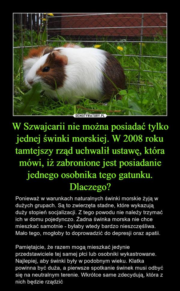 W Szwajcarii nie można posiadać tylko jednej świnki morskiej. W 2008 roku tamtejszy rząd uchwalił ustawę, która mówi, iż zabronione jest posiadanie jednego osobnika tego gatunku. Dlaczego? – Ponieważ w warunkach naturalnych świnki morskie żyją w dużych grupach. Są to zwierzęta stadne, które wykazują duży stopień socjalizacji. Z tego powodu nie należy trzymać ich w domu pojedynczo. Żadna świnka morska nie chce mieszkać samotnie - byłaby wtedy bardzo nieszczęśliwa. Mało tego, mogłoby to doprowadzić do depresji oraz apatii.Pamiętajcie, że razem mogą mieszkać jedynie przedstawiciele tej samej płci lub osobniki wykastrowane. Najlepiej, aby świnki były w podobnym wieku. Klatka powinna być duża, a pierwsze spotkanie świnek musi odbyć się na neutralnym terenie. Wkrótce same zdecydują, która z nich będzie rządzić
