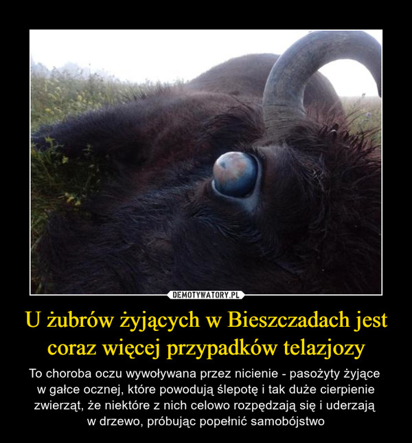 U żubrów żyjących w Bieszczadach jest coraz więcej przypadków telazjozy – To choroba oczu wywoływana przez nicienie - pasożyty żyjące w gałce ocznej, które powodują ślepotę i tak duże cierpienie zwierząt, że niektóre z nich celowo rozpędzają się i uderzają w drzewo, próbując popełnić samobójstwo
