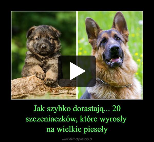 Jak szybko dorastają... 20 szczeniaczków, które wyrosły na wielkie pieseły –