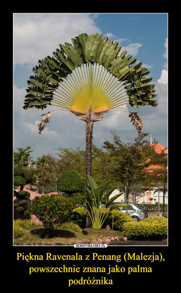 Piękna Ravenala z Penang (Malezja), powszechnie znana jako palma podróżnika –