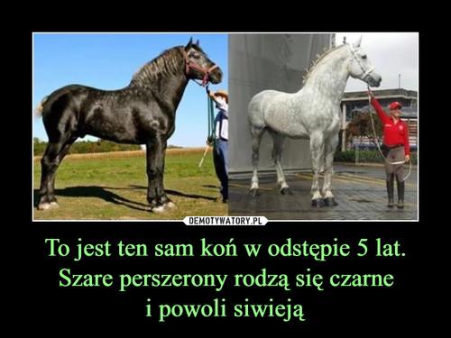 To jest ten sam koń w odstępie 5 lat. Szare perszerony rodzą się czarne i powoli siwieją