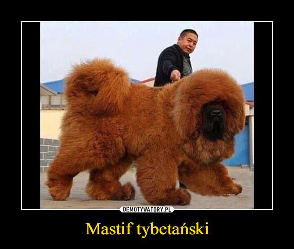 Mastif tybetański –