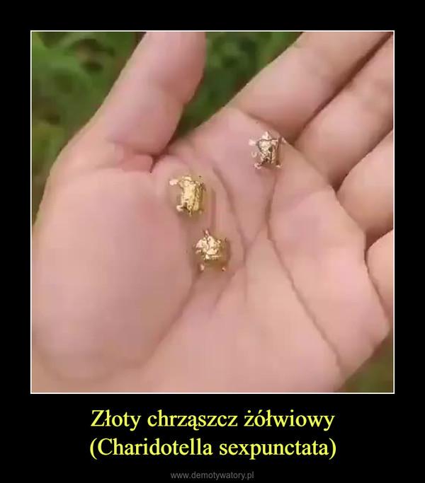 Złoty chrząszcz żółwiowy(Charidotella sexpunctata) –