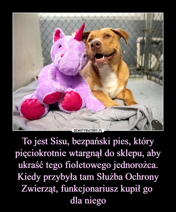 To jest Sisu, bezpański pies, który pięciokrotnie wtargnął do sklepu, aby ukraść tego fioletowego jednorożca. Kiedy przybyła tam Służba Ochrony Zwierząt, funkcjonariusz kupił go dla niego –