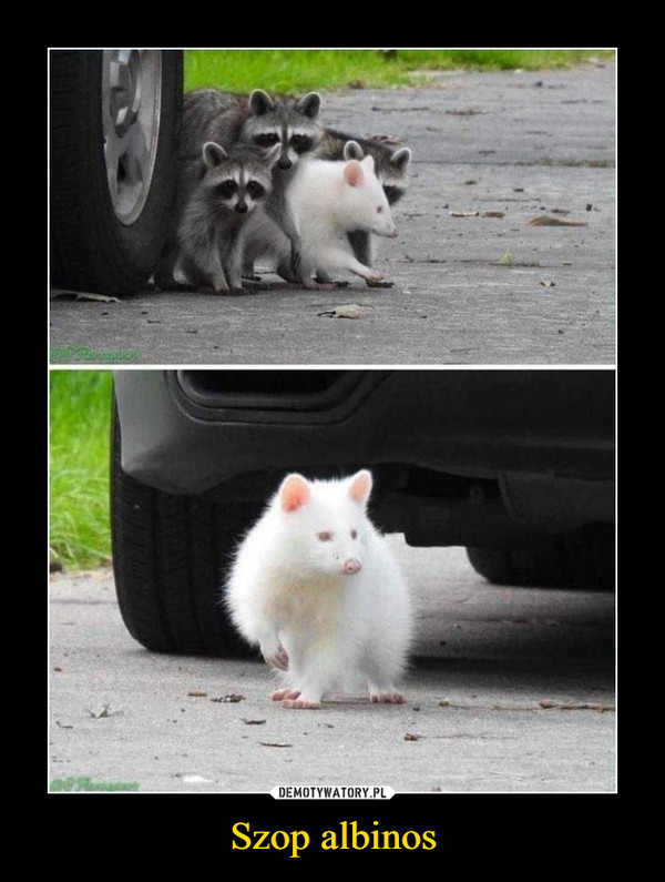 Szop albinos –