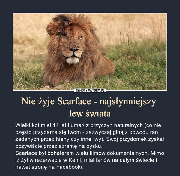 Nie żyje Scarface - najsłynniejszy lew świata – Wielki kot miał 14 lat i umarł z przyczyn naturalnych (co nie często przydarza się Iwom - zazwyczaj giną z powodu ran zadanych przez hieny czy inne Iwy). Swój przydomek zyskał oczywiście przez szramę na pysku.Scarface był bohaterem wielu filmów dokumentalnych. Mimo iż żył w rezerwacie w Kenii, miał fanów na całym świecie i nawet stronę na Facebooku