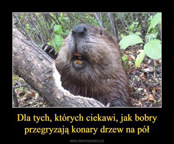 Dla tych, których ciekawi, jak bobry przegryzają konary drzew na pół –