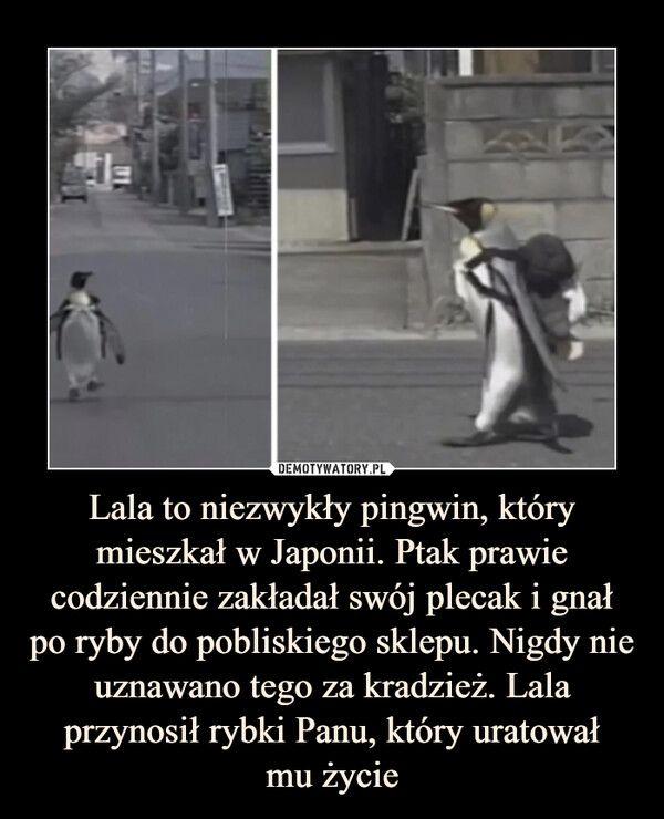 Lala to niezwykły pingwin, który mieszkał w Japonii. Ptak prawie codziennie zakładał swój plecak i gnał po ryby do pobliskiego sklepu. Nigdy nie uznawano tego za kradzież. Lala przynosił rybki Panu, który uratowałmu życie –