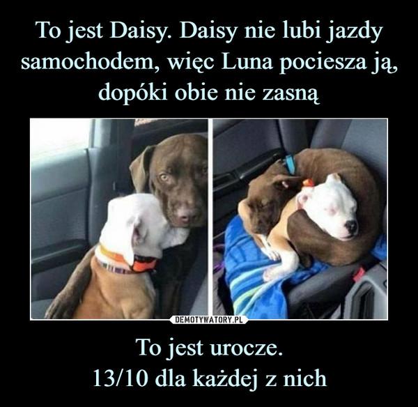 To jest Daisy. Daisy nie lubi jazdy samochodem, więc Luna pociesza ją, dopóki obie nie zasną To jest urocze. 13/10 dla każdej z nich